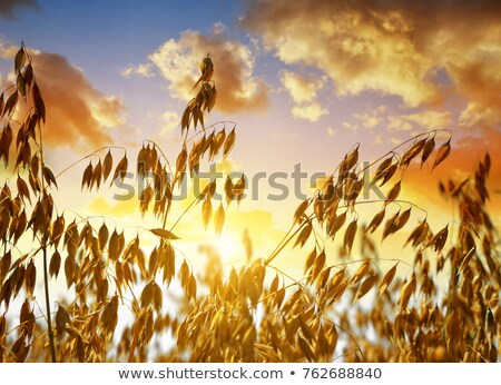 Oat field in sunset. Close up view. Stock photo © dariazu