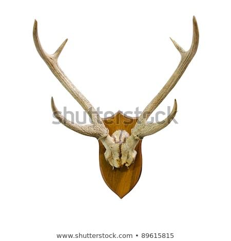 Camosci capra caccia trofeo isolamento tassidermia Foto d'archivio © taviphoto