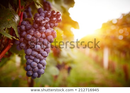 vineyard row with bunches of ripe red wine grapes stock photo © relu1907