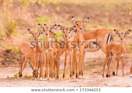 Impala baby Stock photo © romitasromala