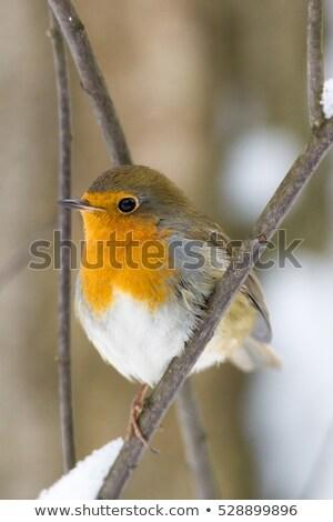 avrupa · tırtıl · kuş · hayvan · fatura - stok fotoğraf © ivonnewierink