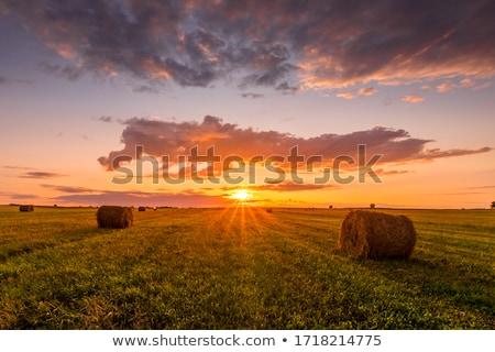 Kuru ot yığını gün batımı güzel kırsal inekler Stok fotoğraf © Hofmeester