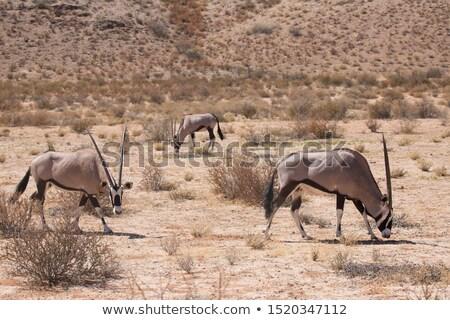 Three Gemsbok in the Kalahari desert Stock photo © avdveen