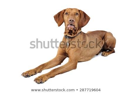 Magyar fehér portré fej állat barna Stock fotó © vauvau