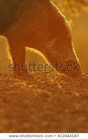 большой · кабан · рассвета · закат - Сток-фото © taviphoto