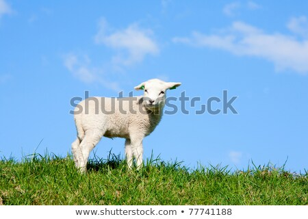 young sheep on green dike Stock photo © compuinfoto
