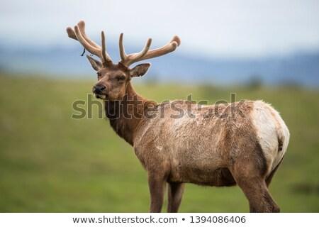 Tule Elk (Cervus canadensis nannodes) Stock photo © dirkr
