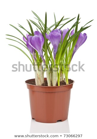 violeta · açafrão · primavera · flores · jardim - foto stock © margolana