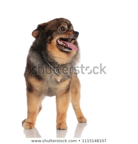 excited pom looks up to side while panting and standing Stock photo © feedough