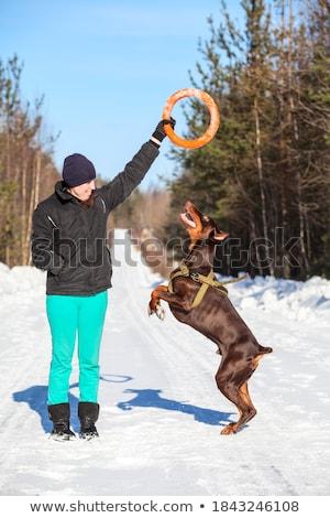friendly brown doberman dog on snow outdoor at winter season stock photo © lopolo