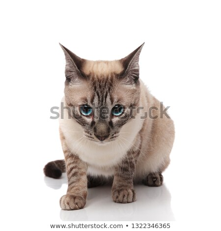 curious burmese cat sits and looks down Stock photo © feedough