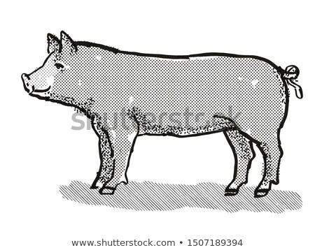 Berkshire Pig Breed Cartoon Retro Drawing Stock photo © patrimonio