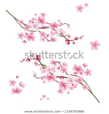 китайский традиционный сакура цветок дерево Сток-фото © SArts