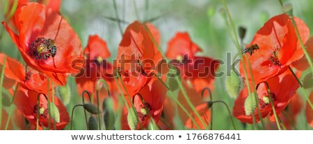 vermelho · papoula · flor · abelha · primavera · natureza - foto stock © pixelman