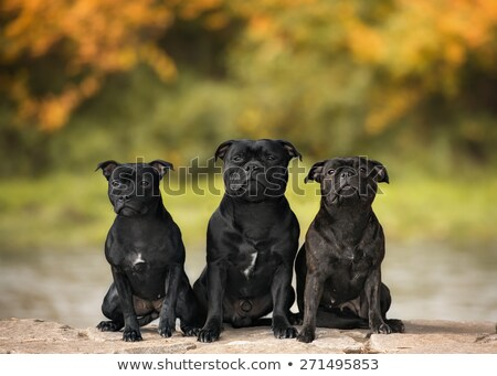 three staffordshire bull terrier Stock photo © cynoclub