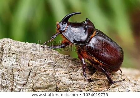 rhinoceros beetle stock photo © hinnamsaisuy