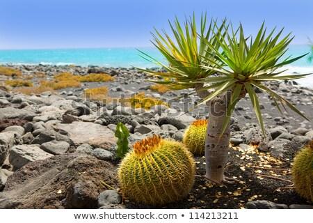 El Golfo in Lanzarote cactus at Atlantic shore Stock photo © lunamarina