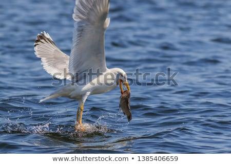 鴎 食べ 飛行 水 作品 ストックフォト © Elenarts
