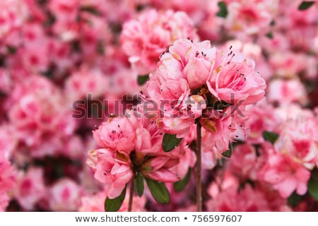 azelea bush in full bloom Stock photo © tdoes