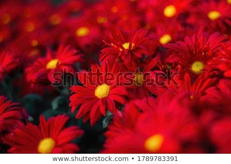 Színes piros krizantém virágok kert természet Stock fotó © stoonn