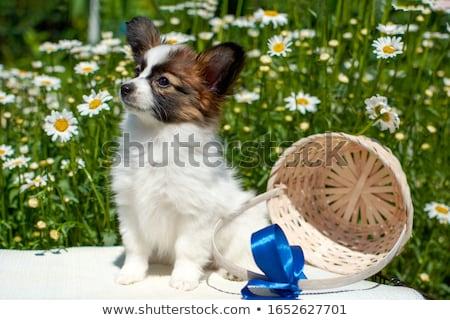 Cachorro aislado blanco perro pelo diversión Foto stock © silense