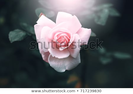 red roses close up spring season stock photo © goce