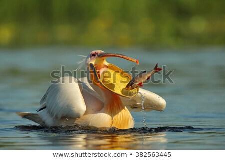 great white pelicans pelecanus onocrotalus stock photo © dirkr