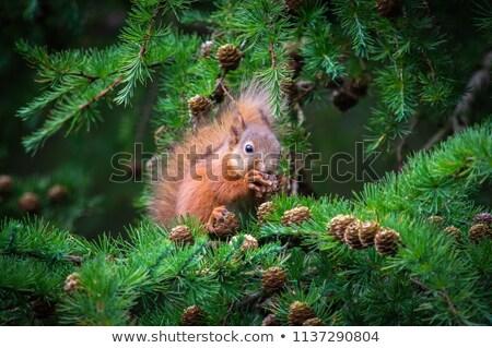 Cute rosso scoiattolo pino singolare foresta Foto d'archivio © Anterovium