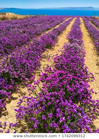 Lavender Field Vertiical Orientation Stock photo © frannyanne