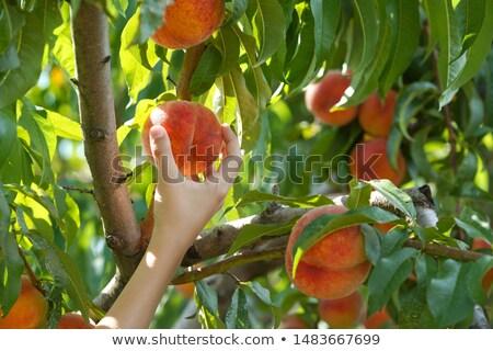 Stock fotó: Szőlőszüret · őszibarackok · érett · fa · nyár