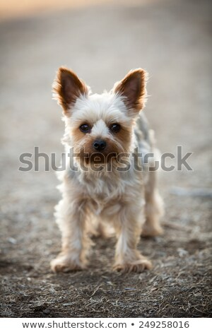 happy yorkshire terrier puppy dog panting in the grass stock photo © feedough