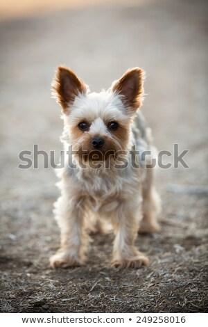 Boldog Yorkshire terrier kutyakölyök kutya zihálás Stock fotó © feedough