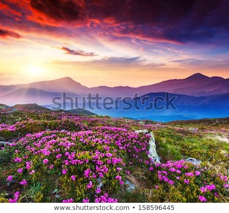 wild plants in the Carpathians Stock photo © OleksandrO