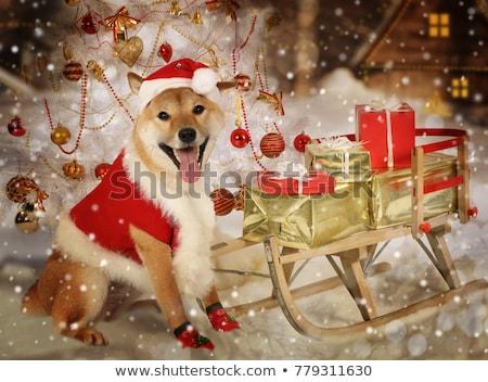 hond · grappig · dier · japans · puppy · mannelijke - stockfoto © cynoclub