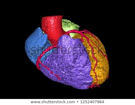 Human heart. 3d anatomical illustration. Clipping path Stock photo © Kirill_M