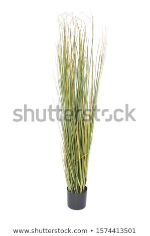 A tall decorative houseplant Stock photo © bluering