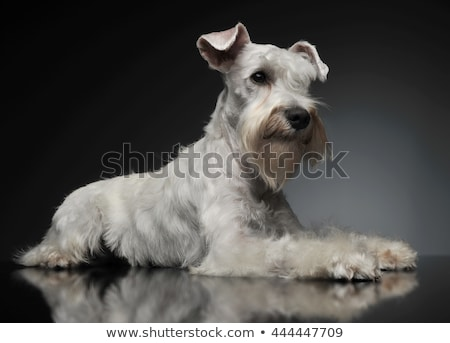 Stock photo: sweet white miniature schnauzer in the grey photo studio