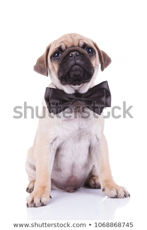 stylish little pug wearing a black bowtie Stock photo © feedough