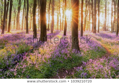 Bluebells Growing In Woodland Stock photo © monkey_business