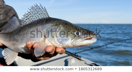 Successful fishing. Caught zander fish and fishing tackle on woo Stock photo © Konstanttin