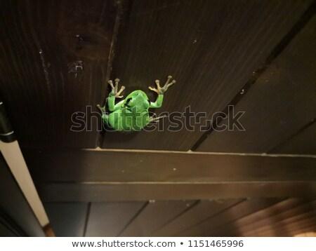 béka · mászik · bambusz · közelkép · levelibéka · izolált - stock fotó © taviphoto