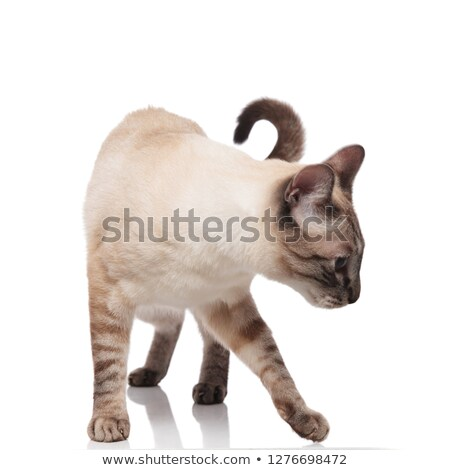 curious burmese cat standing and looking down to side Stock photo © feedough