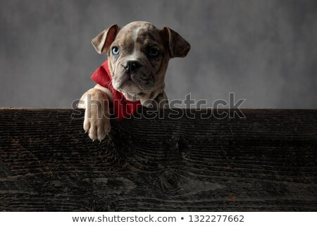 spotted american bully puppy  wearing bowtie inside a wooden box Stock photo © feedough