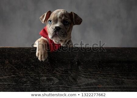 ストックフォト: アメリカン · 子犬 · 着用 · 木製 · ボックス