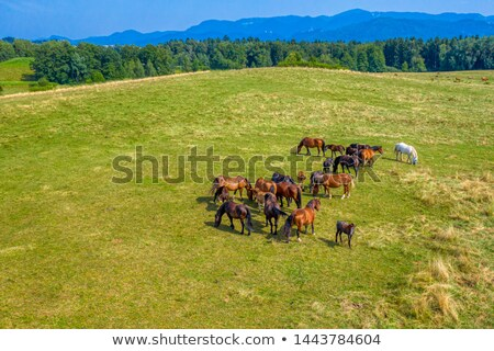 aerial view from a drone farmland with a group of horses on a walk on a summer day stock photo © artjazz