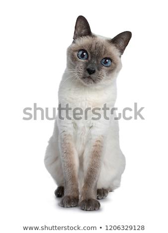 Senior Blauw punt thai kat wijs Stockfoto © CatchyImages