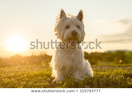 West witte terriër goed kijken hond gras Stockfoto © Lopolo