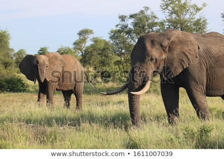 African Elephant in the wild Stock photo © Anna_Om