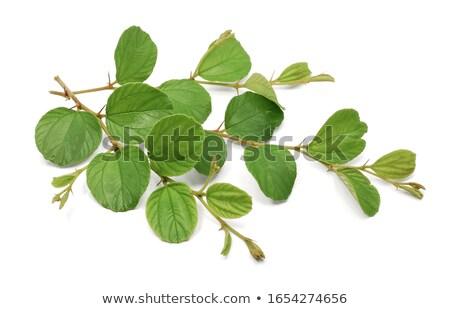 филиала лист коричневый ягодные изолированный зеленые листья Сток-фото © robuart