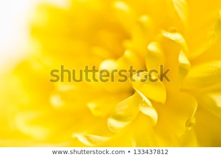 Drops of water on yellow flower petal Stock photo © calvste